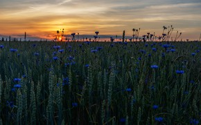 Picture wheat, field, summer, the sky, the sun, sunset, flowers, the evening, horizon, ears, cereals, blue, …