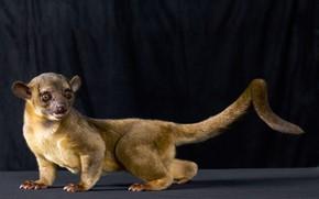 Picture animal, Kinkajou, kinkajou