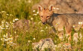 Picture grass, face, portrait, meadow, Fox