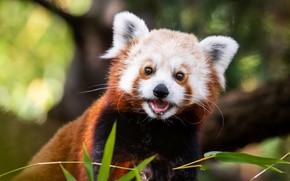 Picture language, leaves, portrait, muzzle, mouth, red Panda, bokeh, red Panda