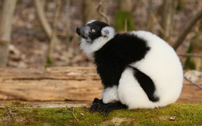 Picture look, nature, pose, profile, lemur, sitting