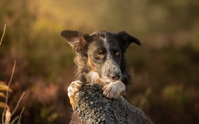 Picture look, face, light, background, stone, portrait, dog, paws, bokeh, the border collie