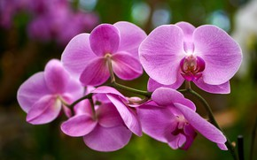 Picture macro, flowers, background, branch, pink, orchids, Orchid, bokeh