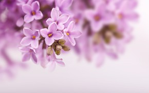 Picture flowers, nature, background, branch, spring, lilac, lilac