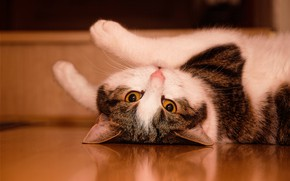 Picture cat, cat, look, pose, reflection, legs, floor, lies, krasava, mordaha, yellow eyes, spotted