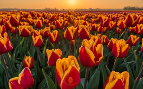 Picture field, light, sunset, flowers, spring, tulips, red, orange, buds, a lot, plantation, fire, red-yellow, Tulip …