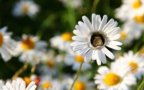 Picture summer, flowers, photoshop, chamomile, treatment, petals, protein, white, bokeh, squirrel, гнёздышко