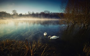 Picture river, spring, swans