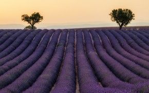 Picture field, summer, the sky, trees, flowers, nature, strip, France, a lot, the ranks, lavender, lilac, …