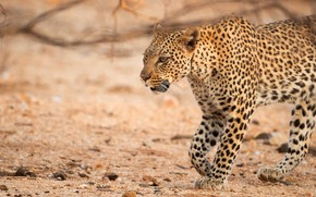 Picture look, face, nature, leopard, walk