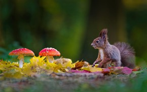 Picture autumn, leaves, glade, mushrooms, protein, Amanita, bokeh