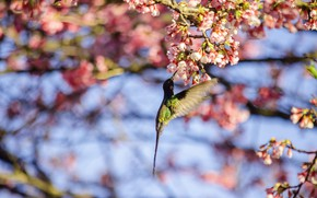 Picture light, flight, flowers, bird, branch, spring, Sakura, Hummingbird, pink, bird, flowering, bokeh