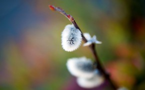 Picture macro, bright, background, branch, spring, pussy, kidney, Verba