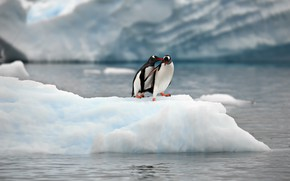 Picture nature, the ocean, penguins, ice, floe, a couple, Alexander Perov