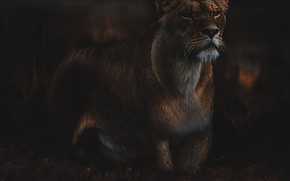 Picture look, face, the dark background, lioness, photoart, harsh