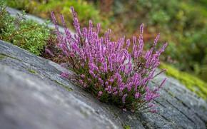 Picture flowers, stones, Bush, slope, slide, pink, Heather