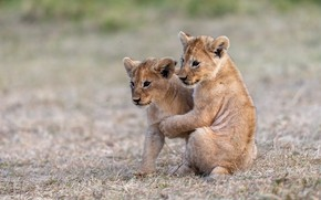 Picture nature, baby, pair, the cubs, a couple, lion, two, lion, two lion