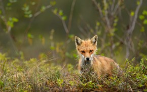 Picture grass, branches, nature, glade, spring, baby, Fox, green background, Fox, Fox