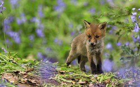 Picture summer, leaves, flowers, nature, Fox, lilac, bokeh, Fox, Fox, hill