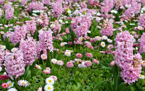 Picture pink flowers, hyacinths, Daisy