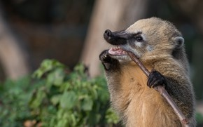 Picture face, leaves, pose, background, branch, paws, mouth, stand, coati, the coati