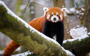 Picture winter, look, snow, nature, tree, tail, red Panda, walk, face, red Panda
