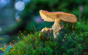 Picture mushroom, moss, mushroom, bokeh