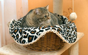 Picture cat, cat, look, face, pose, grey, room, wall, portrait, fabric, lies, plaid, basket, striped, table, …