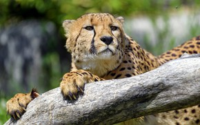 Picture look, face, Cheetah, log