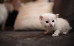 Picture cat, white, cat, kitty, background, sofa, eyes, small, muzzle, bed, cute, pillow, kitty, Bunny, sitting, …