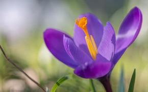 Picture macro, petals, bokeh, Krokus, Saffron