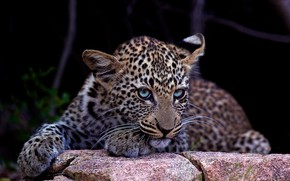 Picture look, face, stones, portrait, baby, leopard, lies, black background, blue eyes, cub