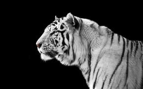 Wallpaper tiger, predator, black and white, black background, handsome