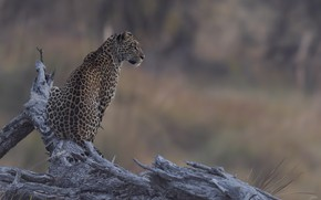 Picture nature, background, leopard, DUELL ©
