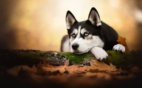 Picture autumn, look, face, leaves, dog, bokeh, Husky