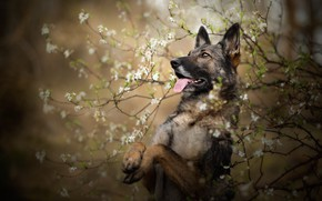 Picture language, look, face, flowers, branches, nature, pose, Bush, portrait, dog, spring, paws, flowering, stand, German …