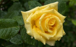 Picture flower, leaves, drops, rose, Bud, yellow