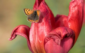 Picture flower, macro, red, background, butterfly, Tulip, spring, petals, Bud, insect