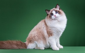 Picture cat, cat, look, pose, kitty, legs, muzzle, cute, kitty, blue eyes, sitting, green background, Studio, …