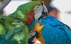 Picture birds, pose, pair, parrots, two, Ara