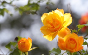 Picture light, roses, yellow