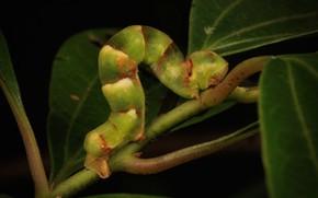 Picture leaves, macro, caterpillar