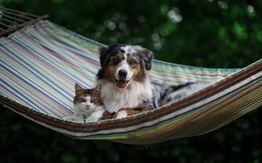 Picture cat, dog, hammock, friends, Australian shepherd, Aussie