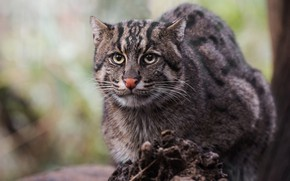 Picture cat, look, face, background, wild cat, wild, angler, Fisher cat