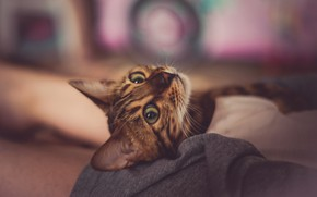 Picture cat, cat, look, face, pose, lies, bokeh, Abyssinian