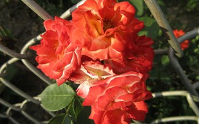 Picture flowers, roses, red, 2018, Meduzanol ©