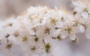 Picture macro, flowers, cherry, tenderness, branch, spring, Sakura, haze, white, flowering, bokeh, blurred background