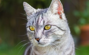 Picture cat, cat, look, face, green, grey, background, portrait, striped, British, smoky, yellow eyes, marble