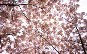 Picture tree, tenderness, spring, Sakura