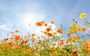 Picture field, summer, the sky, the sun, flowers, colorful, meadow, summer, field, flowers, cosmos, meadow